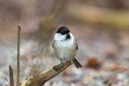 poecile palustris: Marsh tit sitting on a tree branch