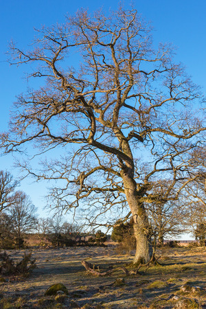 treetrunk: Pasture with oak trees in spring