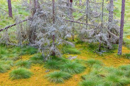 morass: Dead Spruce trees with lichen in the bog