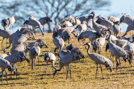flock: Flock of cranes in the field in early spring