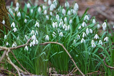 snowdrops: Snowdrops growing in early spring