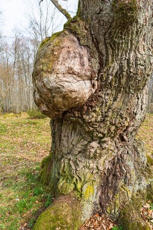 outgrowth: Oak tree with a burl Stock Photo