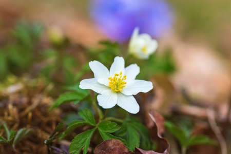 Wood anemone in spring forest