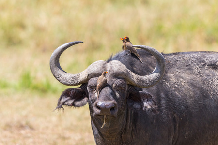 oxpecker: African buffalo watching with yellow-billed oxpecker on its head