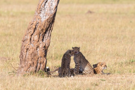 cheetah cub: Cheetah with cubs under a tree on the savannah