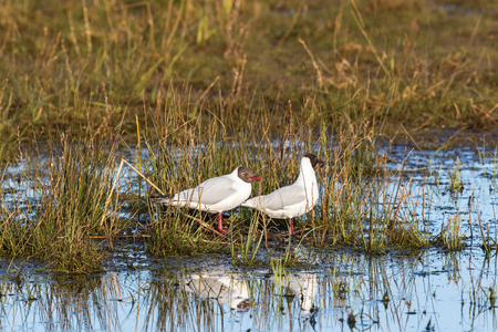 seabirds: Black-headed gulls sitting at the water and resting Stock Photo