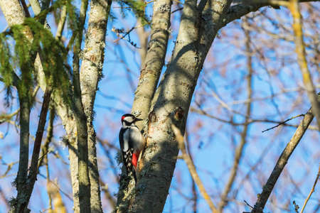 treetrunk: Great Spotted Woodpecker on a tree trunk in the woods