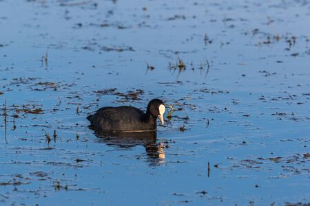 freshwater bird: Eurasian Coot swimming in the water