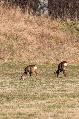 roebuck: Two Roe deer grazing in a field in spring