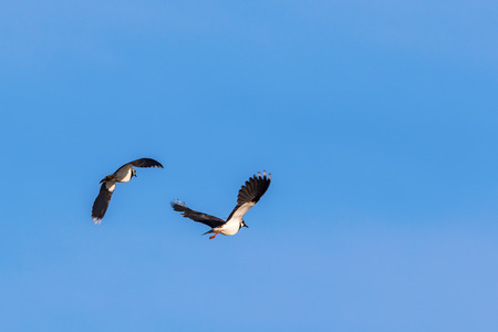 lapwing: Northern lapwing flying in the spring sky