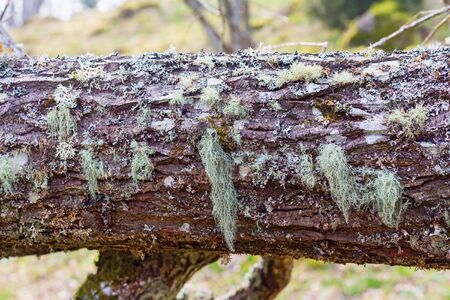 mosses: Mosses and lichens on a fallen tree