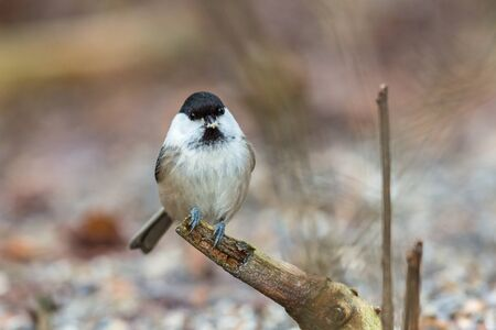 poecile palustris: Marsh tit on a branch in the forest Stock Photo
