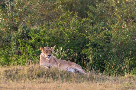 scouts: Lioness lying down and scouts on the savanna Stock Photo