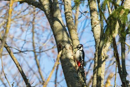 treetrunk: Great Spotted Woodpecker on a tree trunk in the spring