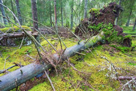 treetrunk: Old uprooted spruce trees in forest