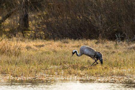Crane settles on the nest