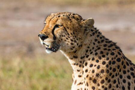masai mara: Cheetah sitting and watching at the savannah in Masai Mara Stock Photo