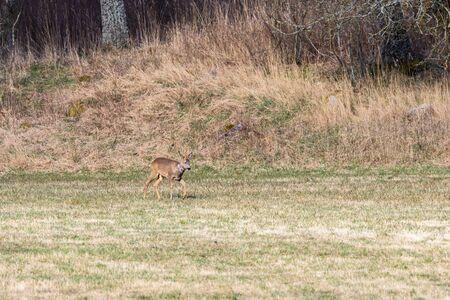 roebuck: Roebuck walking on a meadow Stock Photo