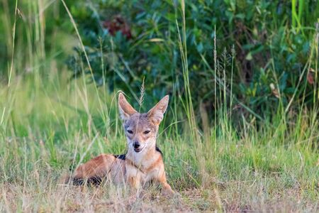 scouts: Black-backed Jackal lying down sitting and scouts in the grass