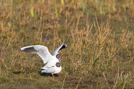 copulate: Couples Black-headed gull that mate in the meadow