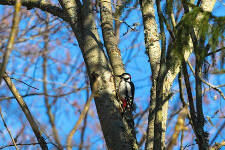 spotted: Great Spotted Woodpecker on a tree trunk Stock Photo