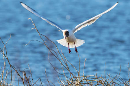 seabird: Black-headed gull that tries landing among the branches