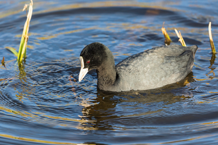 freshwater bird: Coot in the water in the spring