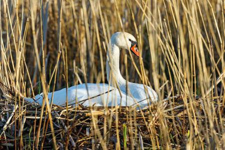 mute swan: Nesting Mute Swan