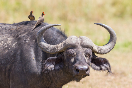 oxpecker: African buffalo with a watchful eye and with yellow-billed oxpecker on its head