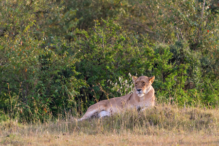 scouts: Lioness lying and scouts on the savannah