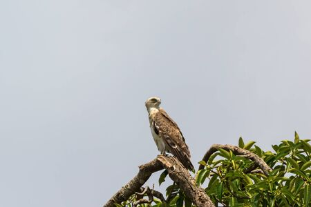 scenic view: Short toed snake eagle in a treetop