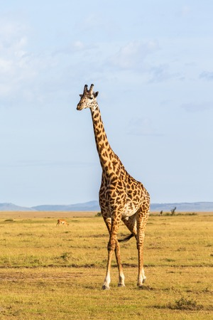 walk in: giraffe walk in the savannah landscape