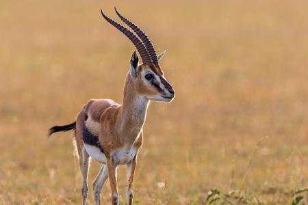 gazelle: Thomsons gazelle on the savanna