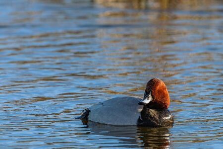 common pochard: Common Pochard in colorful plumage in the lake