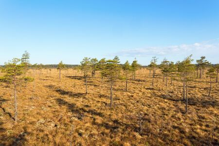 mire: Mire landscape with pine trees Stock Photo