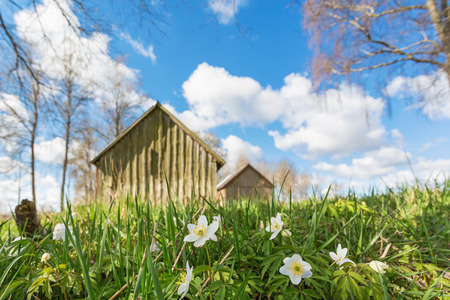 low angle views: Flowering Wood anemone on a spring meadow