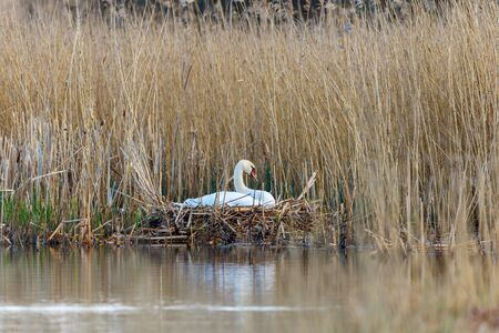 waters edge: Mute swans that nest at the waters edge