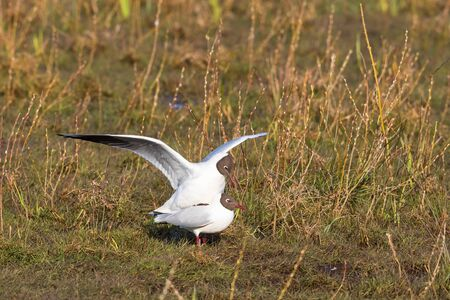 seabirds: Couples Black-headed gull which mating in the spring