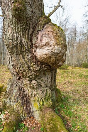 outgrowth: Oak tree with a burl in spring