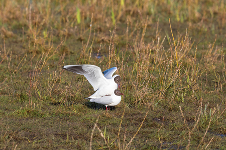 copulate: Black-headed gull which mating in the spring