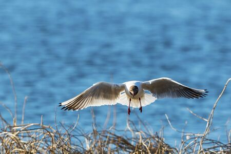 white headed: Black-headed gull flying over the branches