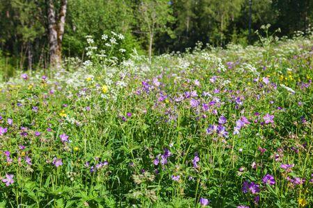 cranesbill: Wild Wood cranesbill flowers in the meadow