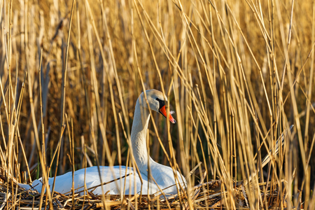 brooding: Mute swan lying and brooding among reeds Stock Photo