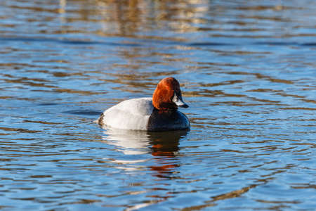 Common Pochard swimming in the water