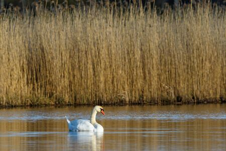 mute swan: Mute swan lying and resting in the water Stock Photo