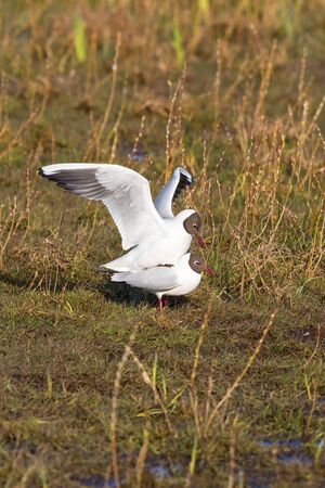 white headed: Couples Black-headed gulls that mate in spring grass