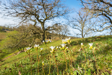 low angle views: Meadow with blooming Meadow saxifrage in spring