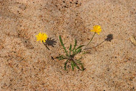 fleurs des champs: Wildflowers dans le sable à la plage