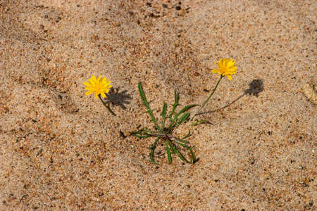 wildflowers: Wildflowers in the sand at the beach