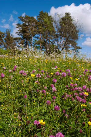 red clover: Red clover on a summer meadow Stock Photo
